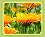 Calendula Officinals