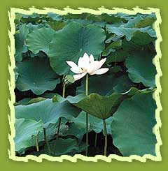 Lotus Flowers Lotus Seeds Lotus Stem And Buy Rice Bran Oil From