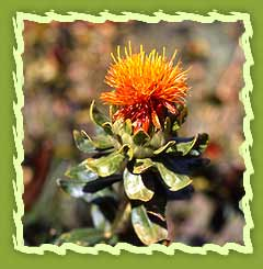 Safflower Seeds