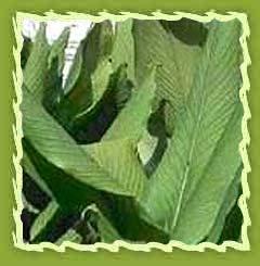 Turmeric leaf oil, Turmeric Oil